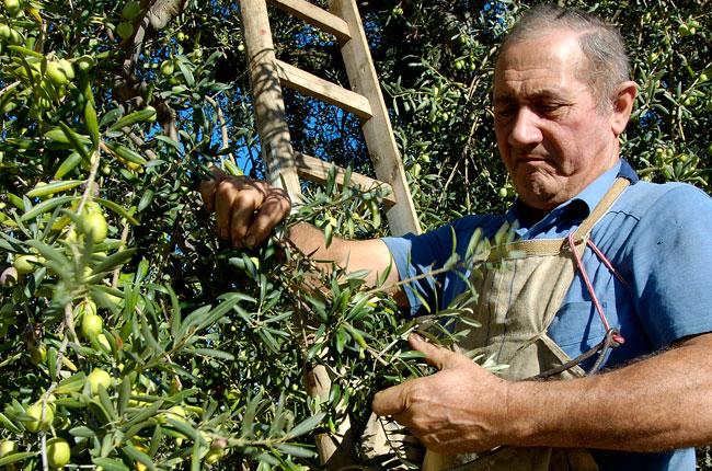 La raccolta delle olive for Raccolta olive periodo